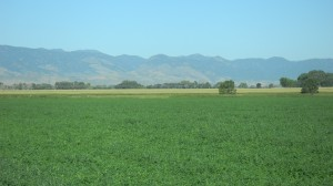 North Alfalfa field